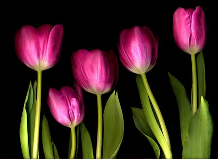 pink tulips photo