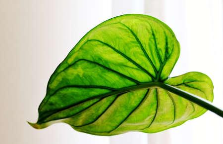 green elephant ear leaf