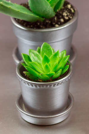 potted plant cactus: Aloe and Graptopetalum Succulent in Silver Metallic Potted Plant on Silver Background Stock Photo