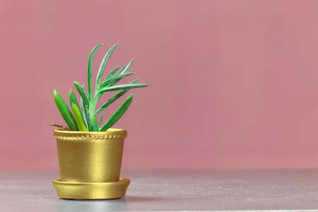 senecio: Single Senecio Succulent in Gold Metallic Potted Plant on Pink Background