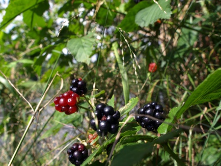 rubus: Rubus plicatus-fruits of the forest in Europe Stock Photo