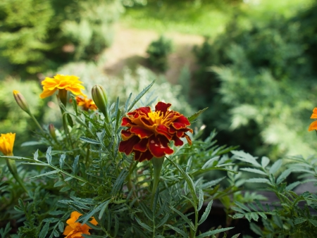 patula: Tagetes patula flower-plan in our garden
