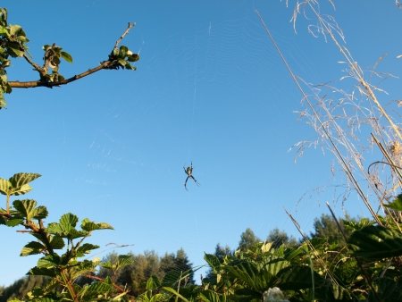 Wasp SpiderArgiope bruennichi against the background of blue sky photo