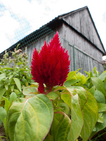 celosia: celosia against the background of the shed