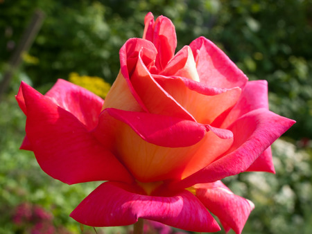 roseleaf: The single flower of rese in the garden Stock Photo