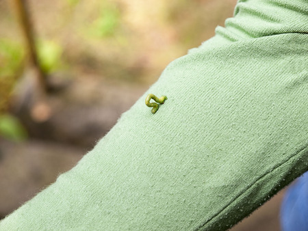 nympha: the green caterpillar on  a green sweater Stock Photo