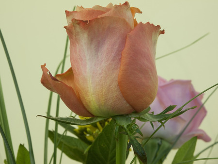 rose coloured: The beautiful rose in the bouquet