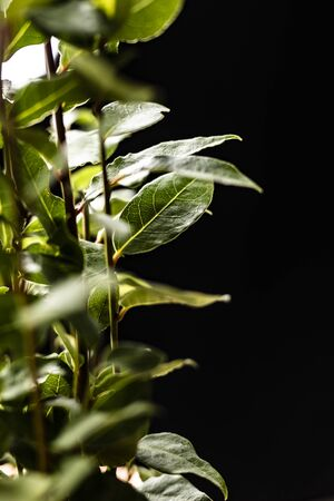 Green shrub with bay leaves. Plant on a black background