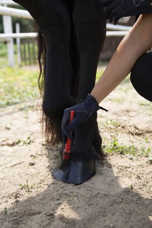 Stud, woman performs care treatments. Horse care 写真素材