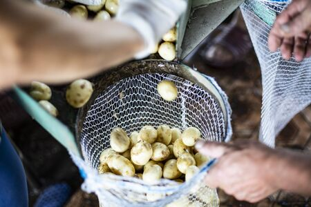 Freshly harvested and washed potatoes during packing into net bags in a farm storage. Farm during potato-lifting. Harvest time in a countryside. Reklamní fotografie