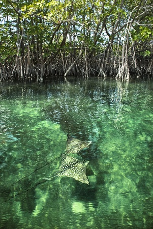 narinari: Two Eagle Rays swimming through a beautiful mangrove forest.