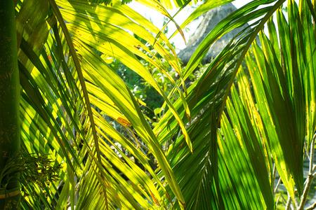 kimri: Leaf of betel palm.