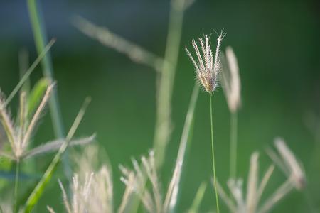 Gress flower with green backgroud