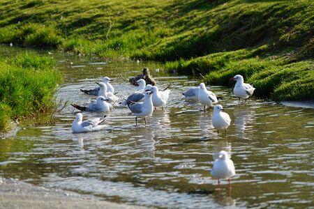 seagulls taking a bath