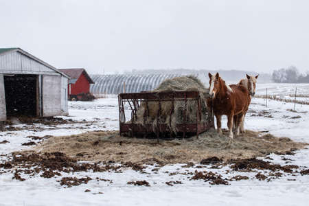 A pair of palomino clydesdale horses next to a bale of hay on an iron structure in the middle of a blizzard in the Ontario countryside. Two barns, one red panelling.