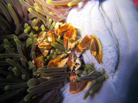 maculatus: A couple of natural porcelain crab in scuba night dive at Submarine Rock in Myanmar