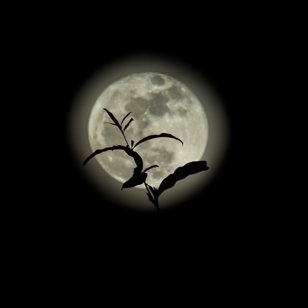 silent: Silhouette of treetop on full moon background
