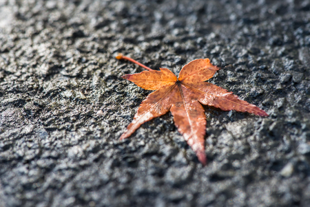 Macro of maple leaf fall on pavement.