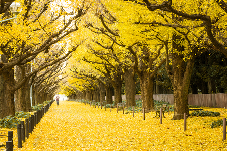 People visit yellow ginkgo trees and yellow ginkgo leaves at Ginkgo avenue.(Icho Namiki) Tokyo,Japan.