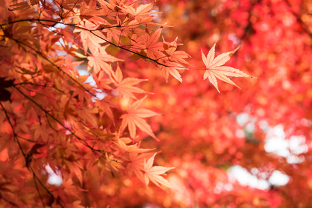 variegated: Colorful of maple leaves in autumn with bokeh. Stock Photo