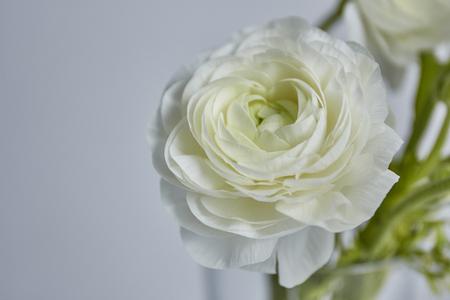 Weiße Ranunkeln auf weißem Hintergrund Standard-Bild