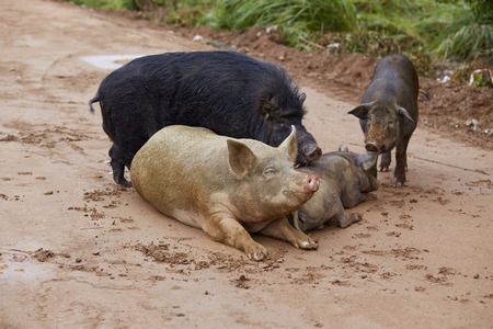 Cute pigs family in natural environment