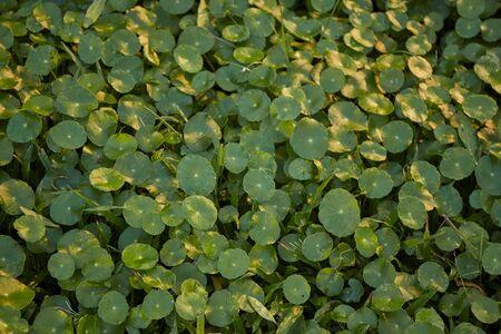 Centella Asiatica, Asiatic pennywort background Stock Photo