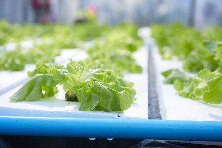 Fresh green oak lettuce salad growing in hydroponics organic agriculture farm system