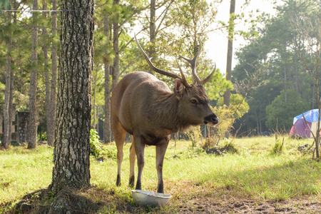 yellow tailed: Sambar cry out for food from people around area this