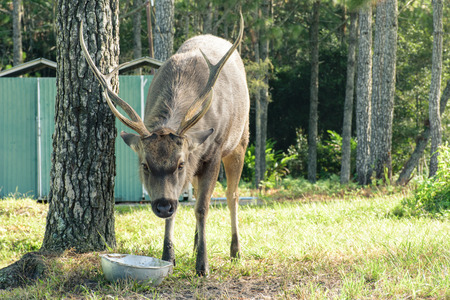 yellow tailed: Sambar cry out for food