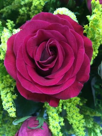close: Red rose close up