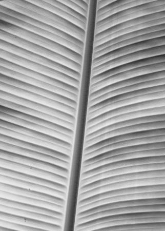 greyscale: Greyscale Banana leaf