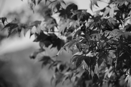 greyscale: Greyscale Branches of Maple