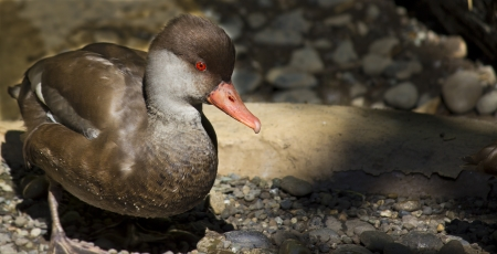 crested duck: A  Red Crested Pochard Duck with a rock background