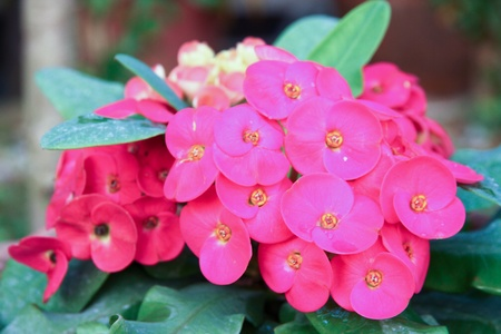 Euphorbia Milii red flowers