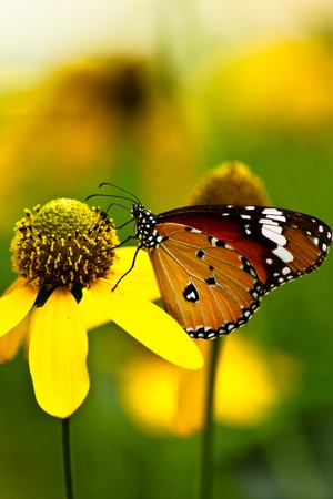 Yellow flower and butterfly Stock Photo