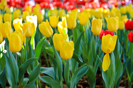 Tuplips flower Stock Photo