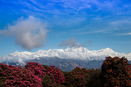 Dhaulagiri mountain and Rhododendron tree view from the top of Poonhill in Annapurna conservation area of Nepal.