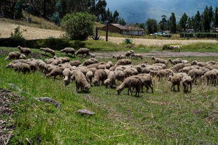 A lot of sheeps on a green field near a road eating grass