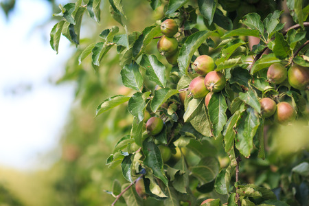 Green red apples growing on apple trees Stock Photo
