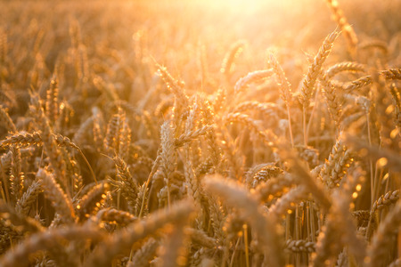 fall landscape: golden wheat field with sunrays. can be used for agriculture and harvest themes Stock Photo