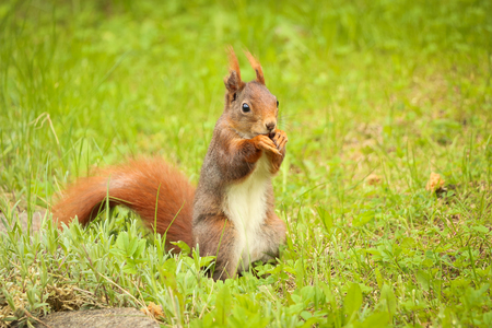 squirrel: squirrel sitting on the ground eating a nut. can be used for green parks, forest, animal, rodent and squirrels themes