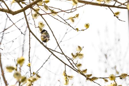 animal themes: Titmouse sitting on branch. nature, garden, wildlife and animal themes Stock Photo