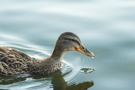 swimming bird: Duck swimming in beautiful water. can be used as background, animal, duck, lake, bird themes
