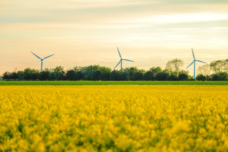yellow agriculture: Windmills and rapeseed field. can be used for environment, windmills, energy, harvest, rape, industri and climate themes