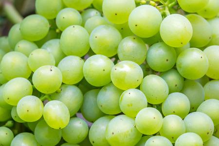 uvas: Racimo de uvas verdes. se puede utilizar para la agricultura, uvas, vino, fruta, oto�o, y los temas de alimentos Foto de archivo
