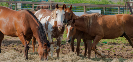 penned: A group of horses feeding in a pen at a vetrinary hospital Stock Photo