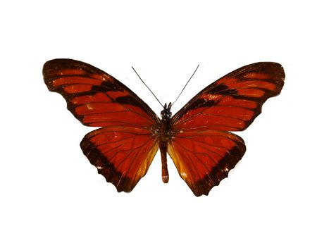 Beautiful dark red butterfly isolated on a white background photo