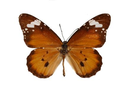 Beautiful bright brown butterfly isolated on a white background photo