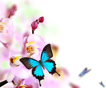 Butterflies on blossoms of orchid, isolated on white background  Stock Photo - 12574001
